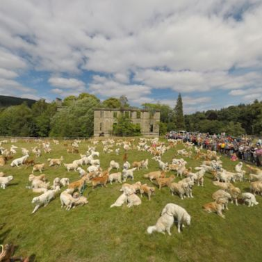 Golden Retrievers bound into the record books
