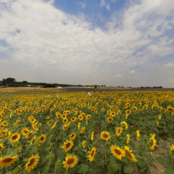 Welcome to Hertfordshire and a thriving field of sunflowers
