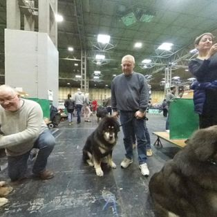 Meet eight of the highly valuable Tibetan Mastiffs at Crufts 2019 dog show