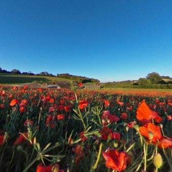 Walk among the wild poppies that have taken over a field of organic wheat near Amersham, Bucks
