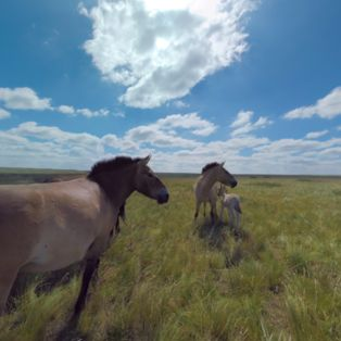 Wild horses won't drag you away from this stunning panorama amid the Russian steppes, featuring a harem of Przewalski's horses frolicking together.